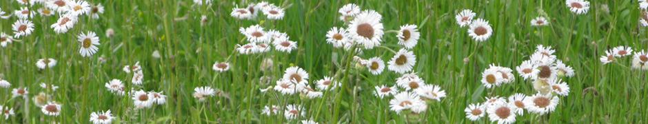 daisy_1658