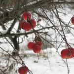dangling apples