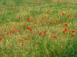 poppies_1814